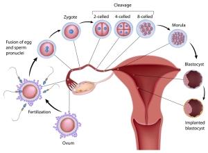 Από τη γονιμοποίηση του ωαρίου μέχρι την εμφύτευση του εμβρύου.